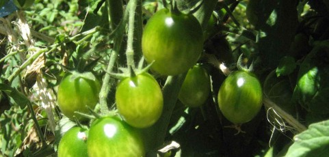 Tomato of the Week: Green Doctors Frosted