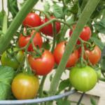 Jolly tomato