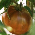 Paul Robeson tomato