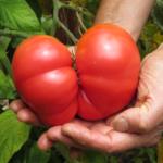 Weisnicht's Ukrainian tomato