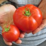 Thessaloniki tomato