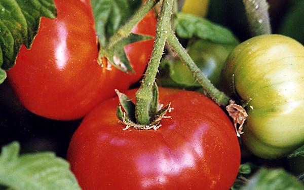 Siletz tomato