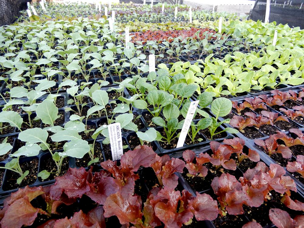 fall plant starts • Kassenhoff Growers