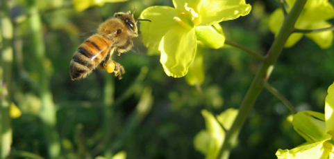 Bees and neonics
