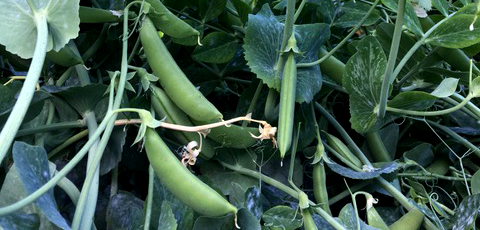 Susan's peas
